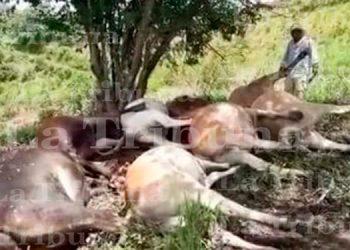 Rayo mata a unas 14 vacas en Danlí El Paraíso (Video)