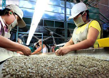 El ciclo que está por terminar dejará a Honduras 900 millones de dólares en divisas, estiman productores.
