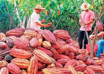 Aumenta exportación de cacao en Wampusirpi