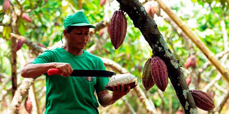 Registro de la SAG: En nueve departamentos operan 5500 cacaoteros
