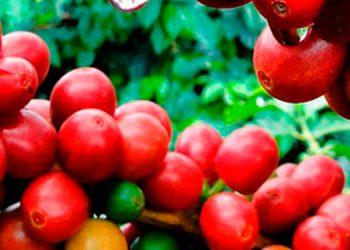 Esta actividad está en manos de 120,000 productores, más del 80 por ciento son pequeños.