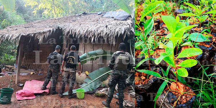 Destruyen unas 11 mil plantas de hoja de coca en Colón