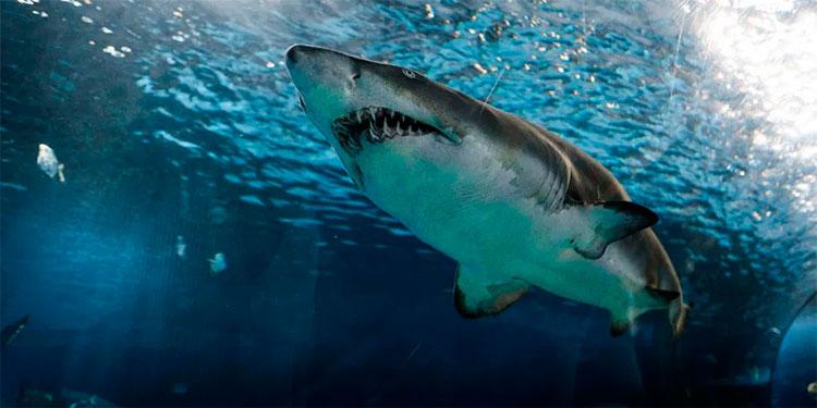 Por qué la vacuna contra el coronavirus podría ser una amenaza para los tiburones