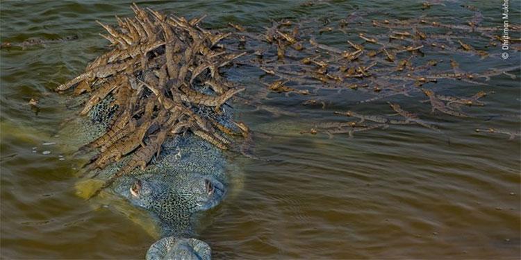 La sorprendente imagen de un cocodrilo cargando más de cien crías