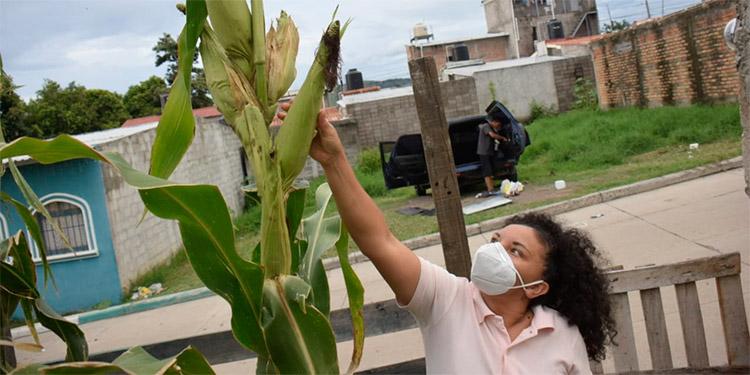 Señora cultiva semilla de maíz altamente productiva
