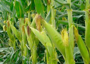 Se ha registrado una buena producción de frijol y maíz en la zona sur del país.