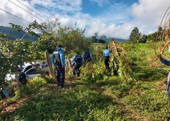 En Guayape, Olancho, agentes policiales iban a capturar a una banda delictiva y en la acción se localizó una gran plantación de marihuana.