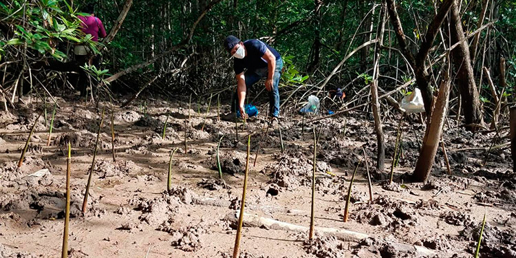 Los pescadores aglutinados al Coddeffagolf han reforestado 40 hectáreas de la Bahía de Chismuyo.