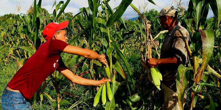 SAG: Proyectan producir 15 millones de quintales de granos