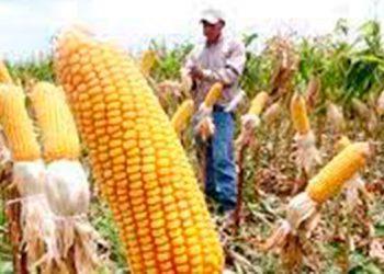 12 millones de quintales de maíz y 3 millones de frijol se proyectan cosechar este año