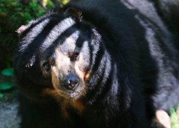 Cazan un oso de anteojos, especie vulnerable en Perú, y enfrentan sanciones
