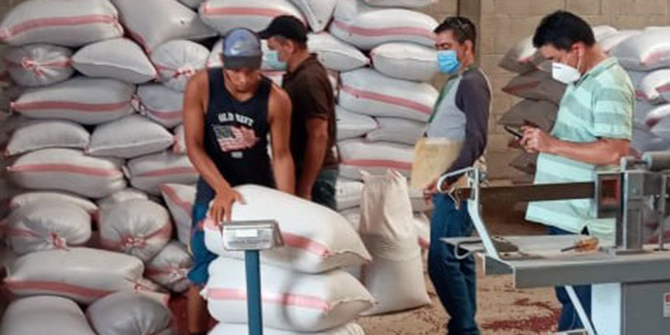 En postrera: Productores de frijol comercializan 57400 quintales al IHMA