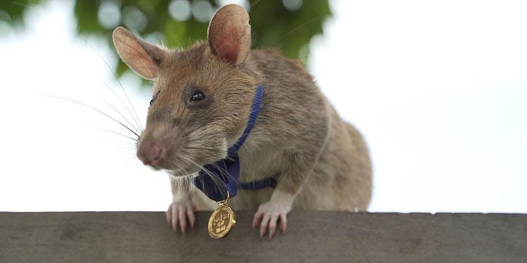 Una rata detectora de minas premiada en el Reino Unido por su valor