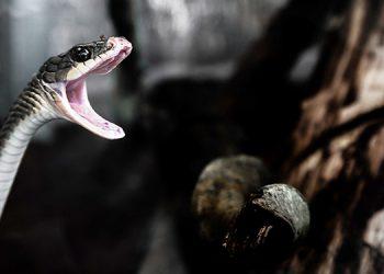Honduras reporta a unas 782 personas mordidas por serpientes al año