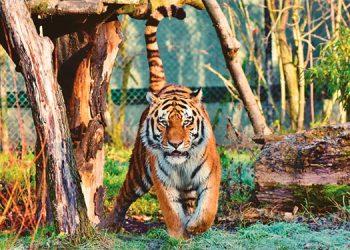 Pensaron que era un tigre suelto en la calle; todo era un terrible acto de crueldad animal