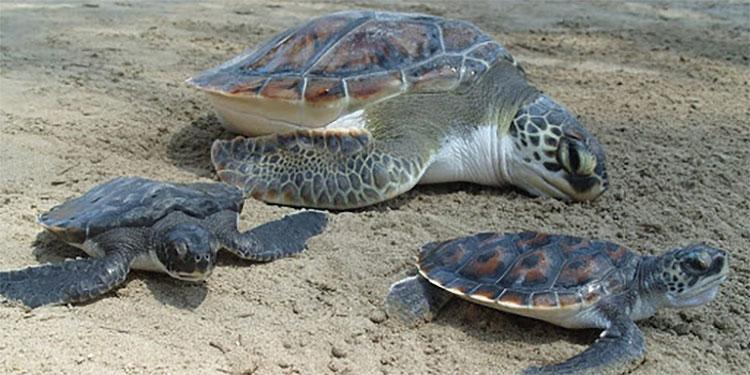 En el sur: 90,000 tortugas golfinas liberarán