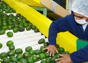 Con el Plan Nacional de Aguacate, la producción se ha expandido en 17 departamentos, excepto Islas de la Bahía.