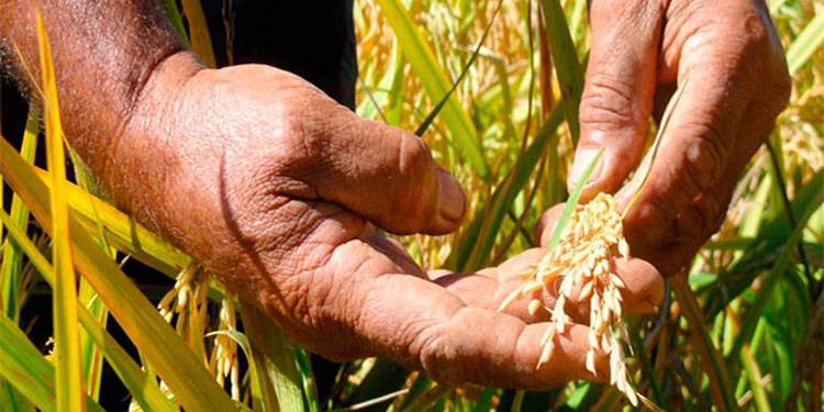 Unos 700,000 quintales de arroz en cosecha de primera producirán en Colón