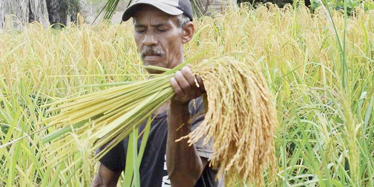 Arranca la cosecha de arroz con 1.5 millones de quintales