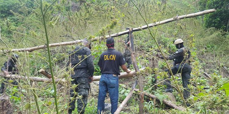 Unas 65 mil plantas del estupefaciente, fueron incineradas por la DLCN  en Tocoa.