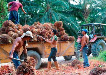 Honduras es el tercer productor y exportador de aceite de palma africana en América Latina y el octavo en el mundo.