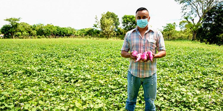 Gracias a Walmart, Juan Carlos se convierte en el productor de camote rojo más exitoso del valle de Jamastrán