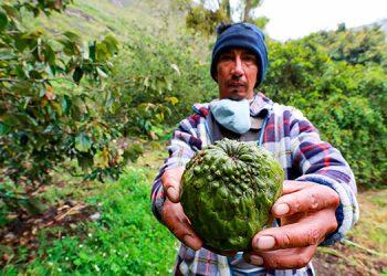 Estudio confirma que el chirimoyo puede ser de origen hondureño o guatemalteco