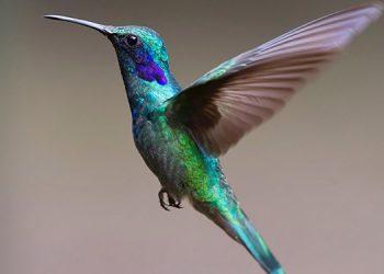 Estudio alerta de la amenaza sobre especies raras, entre ellas el colibrí hondureño