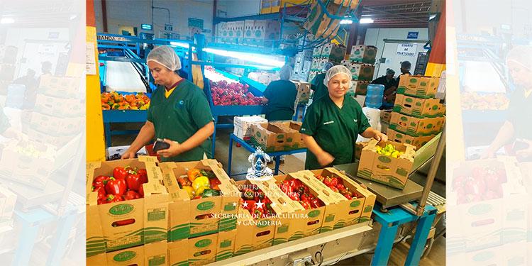 El Corredor Seco produce 25 millones de libras en vegetales y frutas a la semana