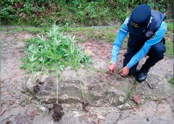Hombre cae con plantación de supuesta marihuana en Ojojona