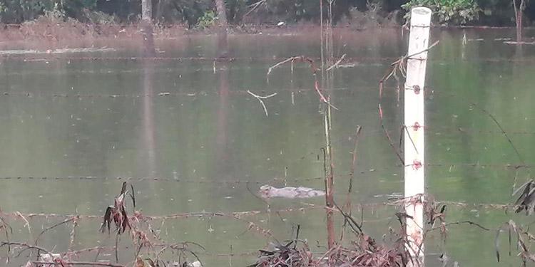 Pobladores de Choloma denuncian infestación de cocodrilos en zonas inundadas