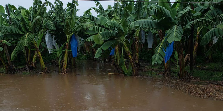 11,500 hectáreas de azúcar están inundadas