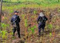Los efectivos policiales localizaron alrededor de 17 mil arbustos de coca en un área aproximada de dos manzanas y media de tierra.