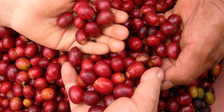 Más de $38 millones caen ingresos por ventas de café