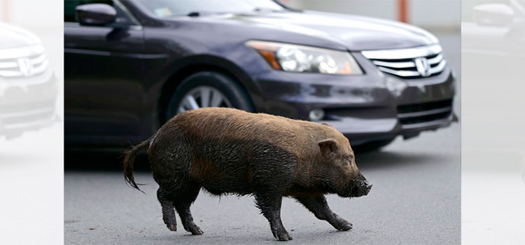 Cerdos salvajes invaden comunidades en Puerto Rico