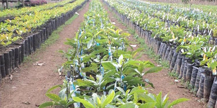 Producción certificada de plantas injertadas de aguacate.