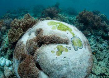 Detectan bacteria en arrecifes de Roatán