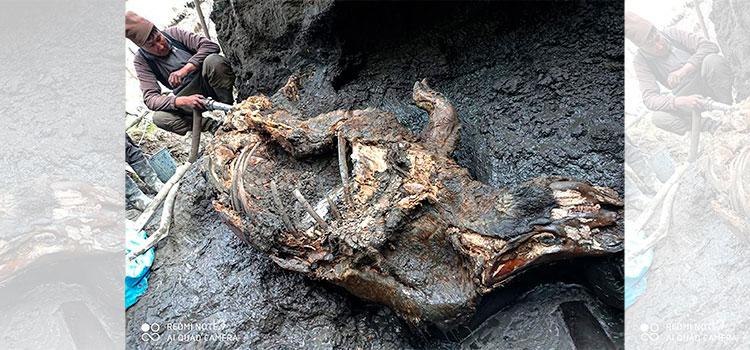 Recuperan rinoceronte lanudo de la era glacial en Rusia