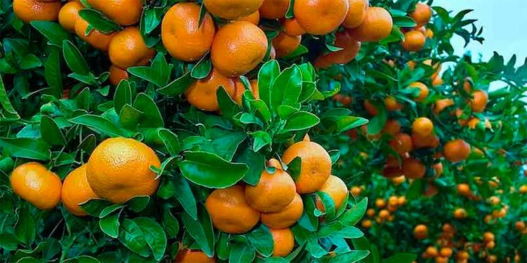 Alertan citricultores: Hasta un 60% baja producción de mandarinas en Francisco Morazán