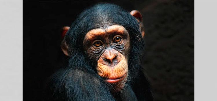 El sorprendente video de un chimpancé barriendo su jaula en el zoo