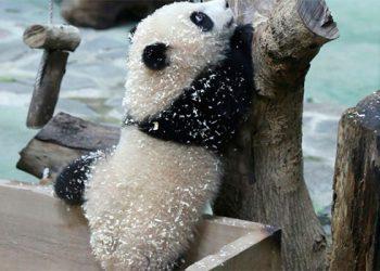 Uno de los últimos osos pandas de Taiwán aparece por primera vez ante las cámaras