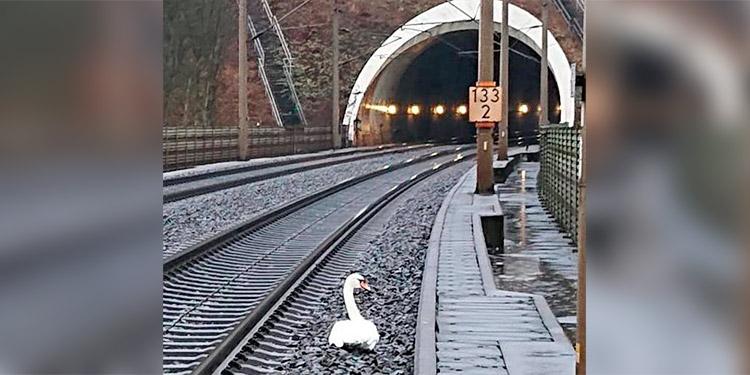 Un cisne, de luto, interrumpe la circulación ferroviaria en Alemania