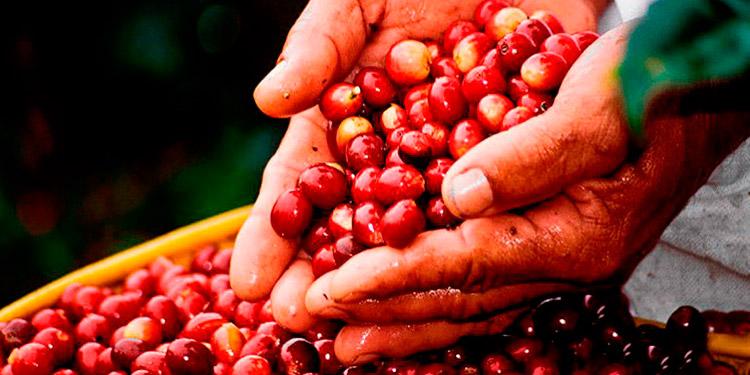 """La Secretaría de Agricultura y Ganadería SAG y el Departamento de los Estados Unidos Usda, impulsan esta iniciativa.    Fundada en el año 2006 Industria Mi Tazita es una micro empresa familiar, ubicada en Corquín-Copán, liderada por la señora Irma Angélica Landaverde, que se dedica a la producción y comercialización de café diferenciado, contando en la actualidad con las certificaciones UTZ, Rainforest Alliance, Fairtrade y FDA, así como con la indicación geográfica Honduras Western Coffee HWC.   Una parte del café que producen es exportado a Estados Unidos, otra parte se comercializa en el mercado nacional y otra se vende ya tostado al consumidor en su propia cafetería.  A lo largo de los años esta empresa ha ido innovando y desarrollando una variada gama de sub-productos del café comestibles y cosméticos, de alta calidad y con un valor único ya que participan en todo el proceso productivo, dentro de los que podemos mencionar: licor de café, mermelada, dulces y salsas también de café. Productos de cuidado personal: shampoo, acondicionador, jabón, crema, exfoliantes, desodorante.  Doña Irma es una persona bastante proactiva, entusiasta e innovadora y nos comenta que luego de un período de investigación, pruebas y validación, ha diversificado su oferta de producto con la formulación y reciente comercialización de harina de plátano (para uso en bizcochos, crepas, panqueques, tortillas, galletas, baleadas, pan, nacatamales, etc.) que tiene un alto valor nutricional.  Mi Tazita de Celaque representa una fuente significativa de empleo rural: 15 empleados temporales en época de cosecha, 10 empleados temporales para limpia y fertilización de la finca, 4 empleados permanentes en planta de proceso, 4 empleados permanentes en la cafetería y 1 empleado permanente para control de calidad.  Al vincularse como empresa beneficiaria del Proyecto """"Acelerador de PYMES Agrícolas Bajo Alianzas Público Privadas en Honduras, ejecutado por la Fundación para el Desarrollo Empresarial Rural"""