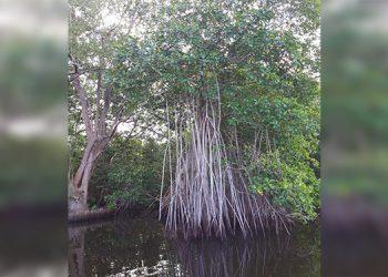 Unos 7,000 manglares serán reforestados en Omoa, Cortés