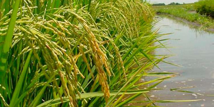 El cultivo del arroz y palma africana, fueron seriamente afectados por ETA e IOTA.