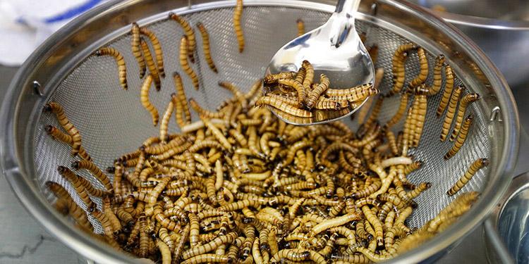 Agencia de la UE dice que es seguro comer gusanos