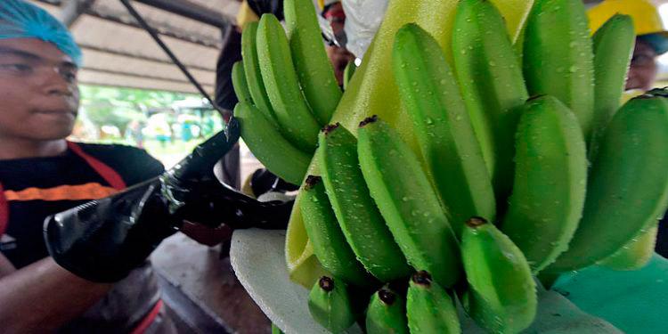Para este año la preocupación es evidente ante los daños provocados por las lluvias en el cultivo de banano.