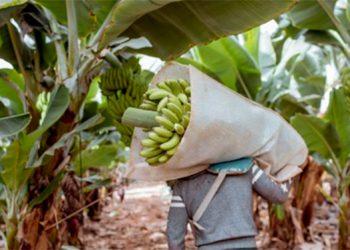 El banano es un cultivo clave para la seguridad alimentaria.