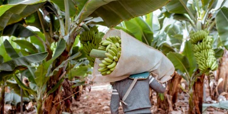 Banano: un cultivo que está bajo amenaza