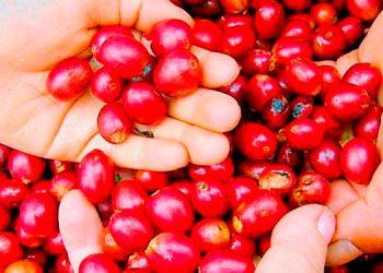 Dirigentes cafetaleros reportan la exportación de 1.96 millones de quintales de café